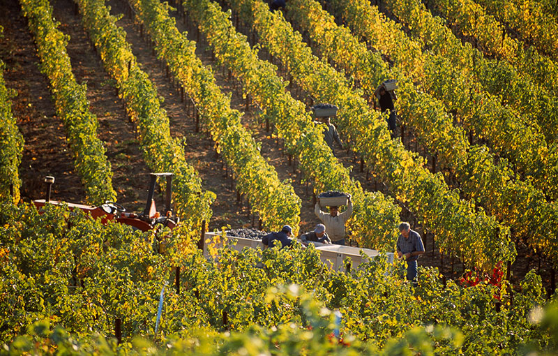 Harvesters in the Vineyard