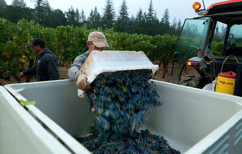 Worker Dumping Harvested Grapes into Larger Container