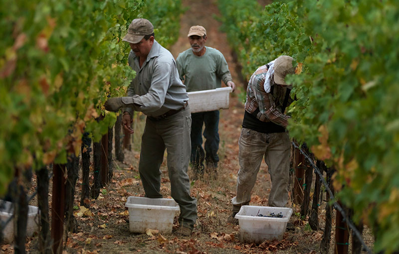Harvesters picking Grapes in Vineyard