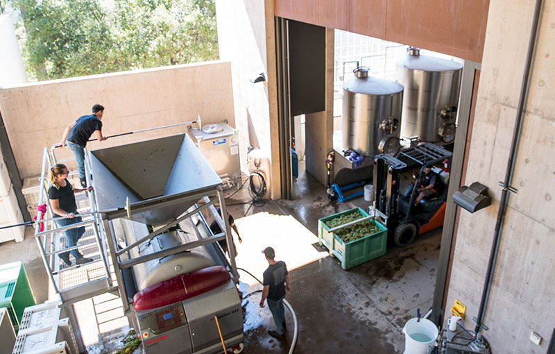 Winemakers putting grapes through hopper