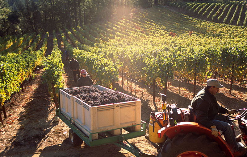 Worker Hauling Harvested Grapes in Vineyard